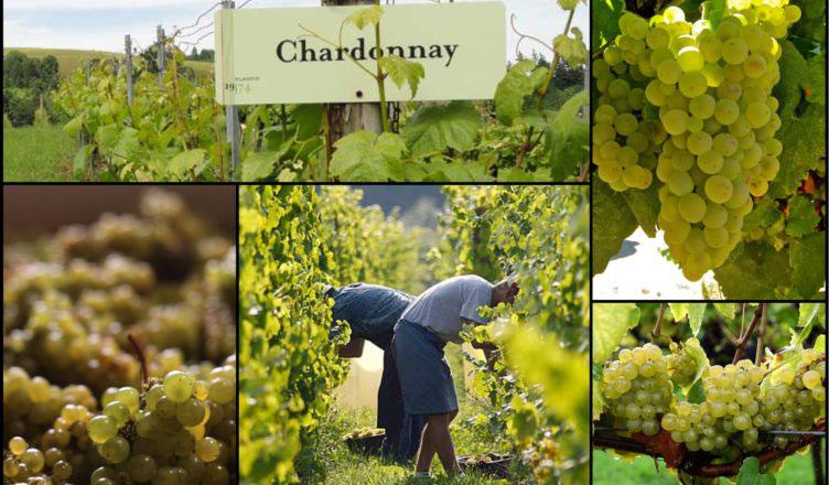 giong-nho-Chardonnay