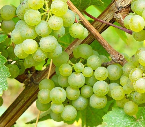 Rượu vang Pháp   Phân loại, giống nho và vùng sản xuất vang 2