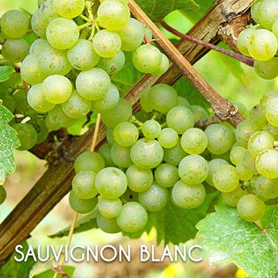 Giống nho Sauvignon blanc