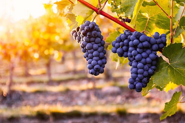 rượu vang Chile đa dạng phong phú