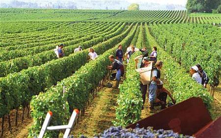 vùng trồng nho sản xuất rượu vang