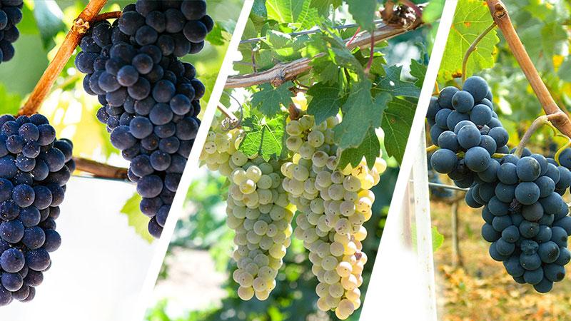 các giống nho chính làm rượu sâm panh
