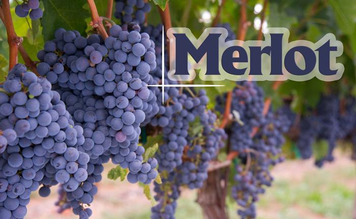 Giống nho Merlot