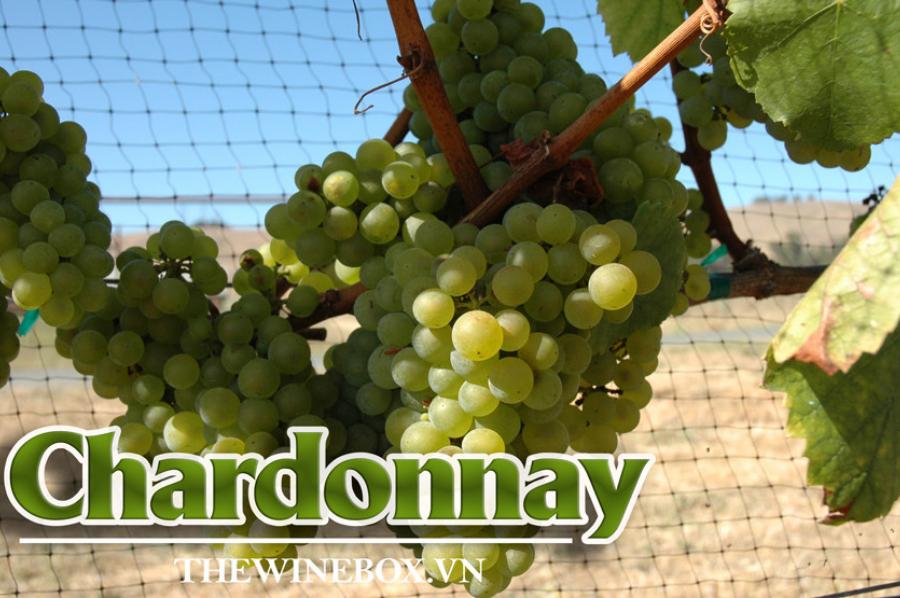 Khám phá giống nho Chardonnay nổi tiếng hàng đầu thế giới 30