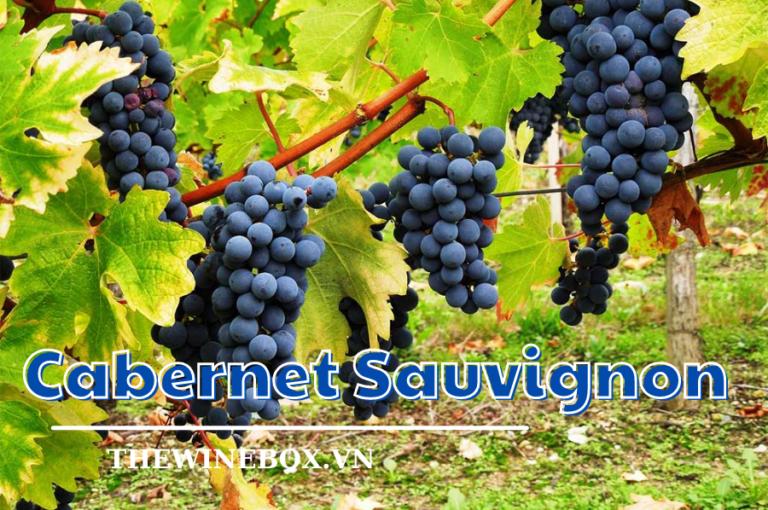Giống nho nổi tiếng nhất thế giới - Cabernet Sauvignon